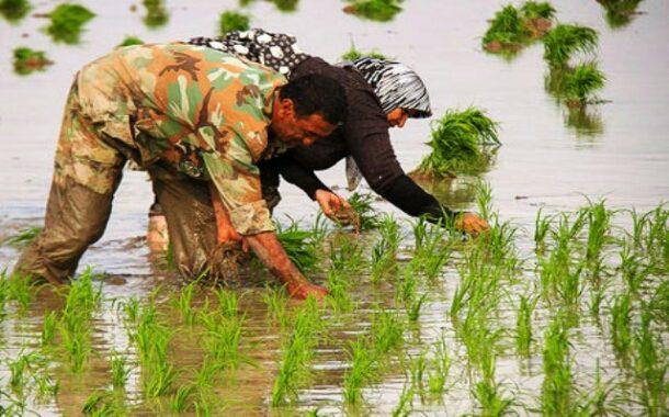 آغاز کشت برنج در شوشتر