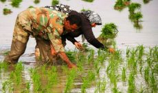 کشت برنج در شهرستان شوشتر آغاز شد