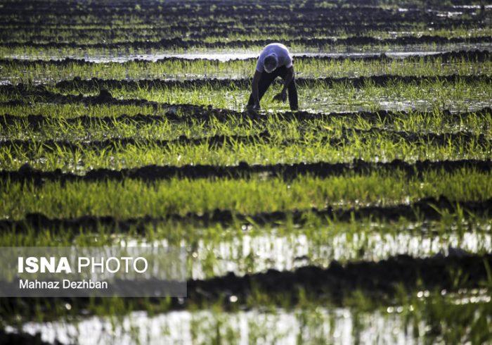 کشت برنج در شوشتر