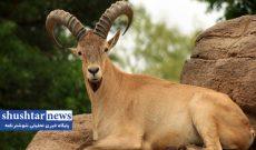 دو گروه جانوری حیاتوحش وارد سایت کشت و صنعت کارون میشود