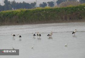 پایش بیماری آنفلوآنزای فوق حاد پرندگان در شوشتر