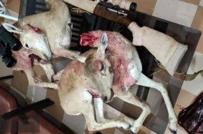 محکومیت ۲ شکارچی غیرمجاز میش وحشی در شوشتر